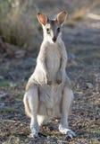 Obrotny wallaby w północnym Queensland obraz royalty free