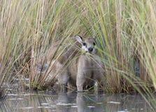 Obrotny wallaby w północnym Queensland fotografia stock
