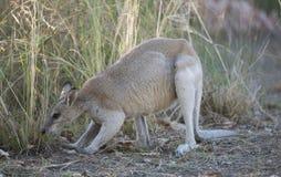 Obrotny wallaby w północnym Queensland obrazy stock