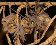Obrządkowa zwierzęca czaszka w domowym Mentawai plemieniu Zdjęcie Stock