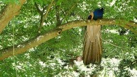 Obsługuje pawia w parku na drzewie zdjęcie wideo