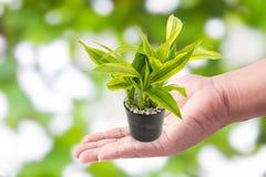 Obsługuje ręki mienia z zielonymi roślinami w małych garnkach na zieleni bo Obraz Stock