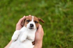 Obsługuje trzymać ślicznego szczeniaka Jack Russel w rękach zdjęcia stock