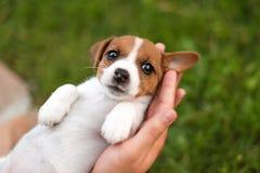 Obsługuje trzymać ślicznego szczeniaka Jack Russel w rękach fotografia royalty free
