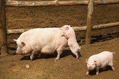Obscene piglet Stock Images