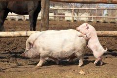 Obscene piglet Royalty Free Stock Image
