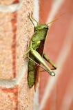Obscure bird grasshoper (Schistocerca obscura) Stock Image