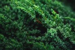 Obscuridade bonita - o fundo verde do zimbro ramifica Fotografia de Stock