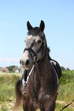 Obscuridade bonita - retrato cinzento do cavalo do esporte Fotografia de Stock