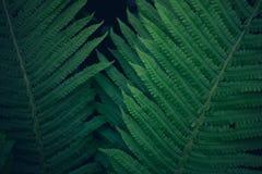 Obscuridade brilhante nova fresca - samambaia verde, textura do fundo natural Imagens de Stock Royalty Free
