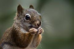 Obscuridade comer do esquilo vermelho - fundo verde foto de stock royalty free