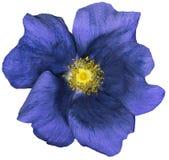 Obscuridade da flor - o azul em um branco isolou o fundo com trajeto de grampeamento nave Close up nenhumas sombras Jardim Fotos de Stock Royalty Free