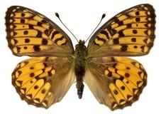 Obscuridade isolada - borboleta verde do Fritillary foto de stock royalty free
