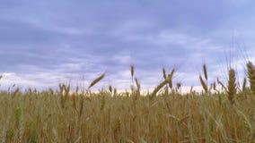 A obscuridade nubla-se o céu sobre o trigo dourado filme