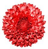 Obscuridade surreal - macro vermelho da flor do crisântemo (dourado-margarida) fotografia de stock royalty free