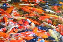Obscuro de peixes extravagantes da carpa Imagens de Stock Royalty Free