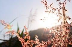 Obscuro do foco macio da silhueta da grama da flor Fotos de Stock Royalty Free