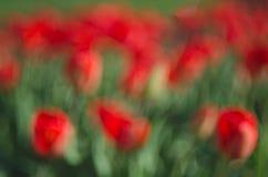Obscuro muitas tulipas vermelhas abstraia o fundo O conceito do projeto da paisagem na primavera, ajardinando, solar de terminaçã Imagens de Stock
