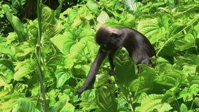 Obscurus obscuro do trachypithecus do macaco da folha que come as folhas video estoque