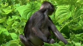 Obscurus obscuro do trachypithecus do macaco da folha que come as folhas vídeos de arquivo