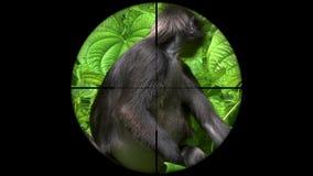 Obscurus sombre de Trachypithecus de singe de feuille également connu sous le nom de Langur à lunettes vu dans la portée de fusil banque de vidéos