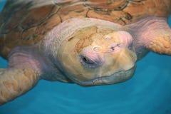 Observé par une tortue de mer albinos Images libres de droits