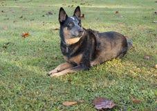 Observação australiana azul do cão do gado de Heeler Fotos de Stock Royalty Free