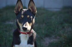 Observação bonito do cão da mistura de Sheltie Imagens de Stock Royalty Free