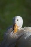 Observação branca bonita do ganso Fotos de Stock Royalty Free