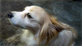 Observação canino bonito esperançosamente com o completo da emoção imagem de stock