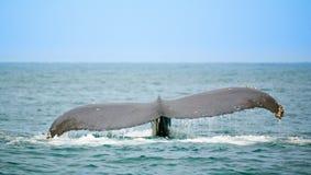Observação da baleia Foto de Stock