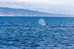 Observação da baleia Fotografia de Stock Royalty Free