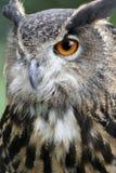 Observação da coruja de águia Fotos de Stock