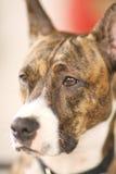Observação do cão Fotografia de Stock