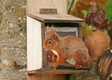 Observação do esquilo vermelho Fotografia de Stock Royalty Free