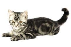 Observação do gatinho Fotos de Stock Royalty Free