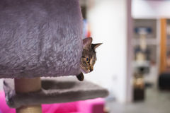 Observação do gato Fotografia de Stock