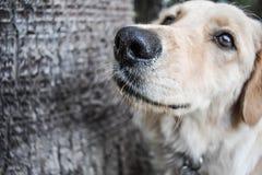 Observação do golden retriever do cão imagens de stock