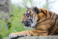 Observação do tigre Foto de Stock
