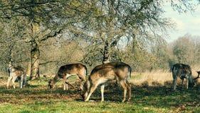 Observação dos cervos no por do sol em Richmond Park, Londres foto de stock