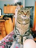 Observação dos gatos Imagens de Stock