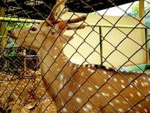 observações dos cervos, natureza selvagem, fim acima fotos de stock