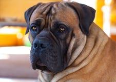 Observa ambrino Retrato del primer de la raza rara del perro Boerboel surafricano Fotos de archivo libres de regalías