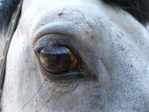 Observa el caballo gris Imagen de archivo libre de regalías