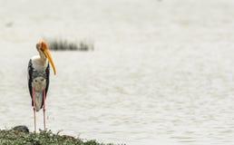 Observación - cigüeña pintada en un fondo del lago imágenes de archivo libres de regalías
