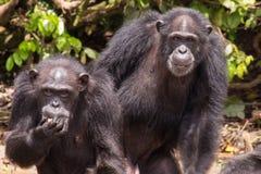 Observación de dos chimpancés Imagen de archivo libre de regalías