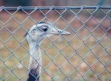 Observación de la avestruz Fotos de archivo