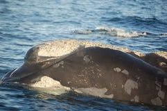 Observación de la ballena Imagen de archivo libre de regalías