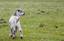Observación de la cabra del bebé Foto de archivo