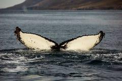 Observación de la cola de la ballena foto de archivo libre de regalías